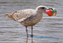 seabirds eating plastic