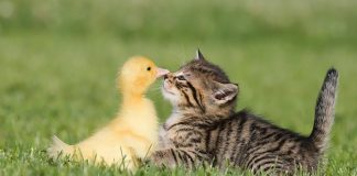 Cat And Duck Communication