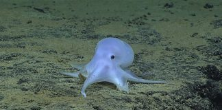 ghost-octopus-1.jpg.653x0_q80_crop-smart