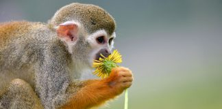 squirrel-monkey