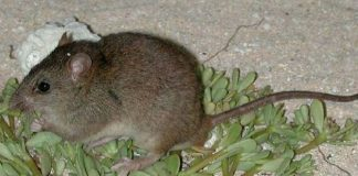 mosaic tailed rat