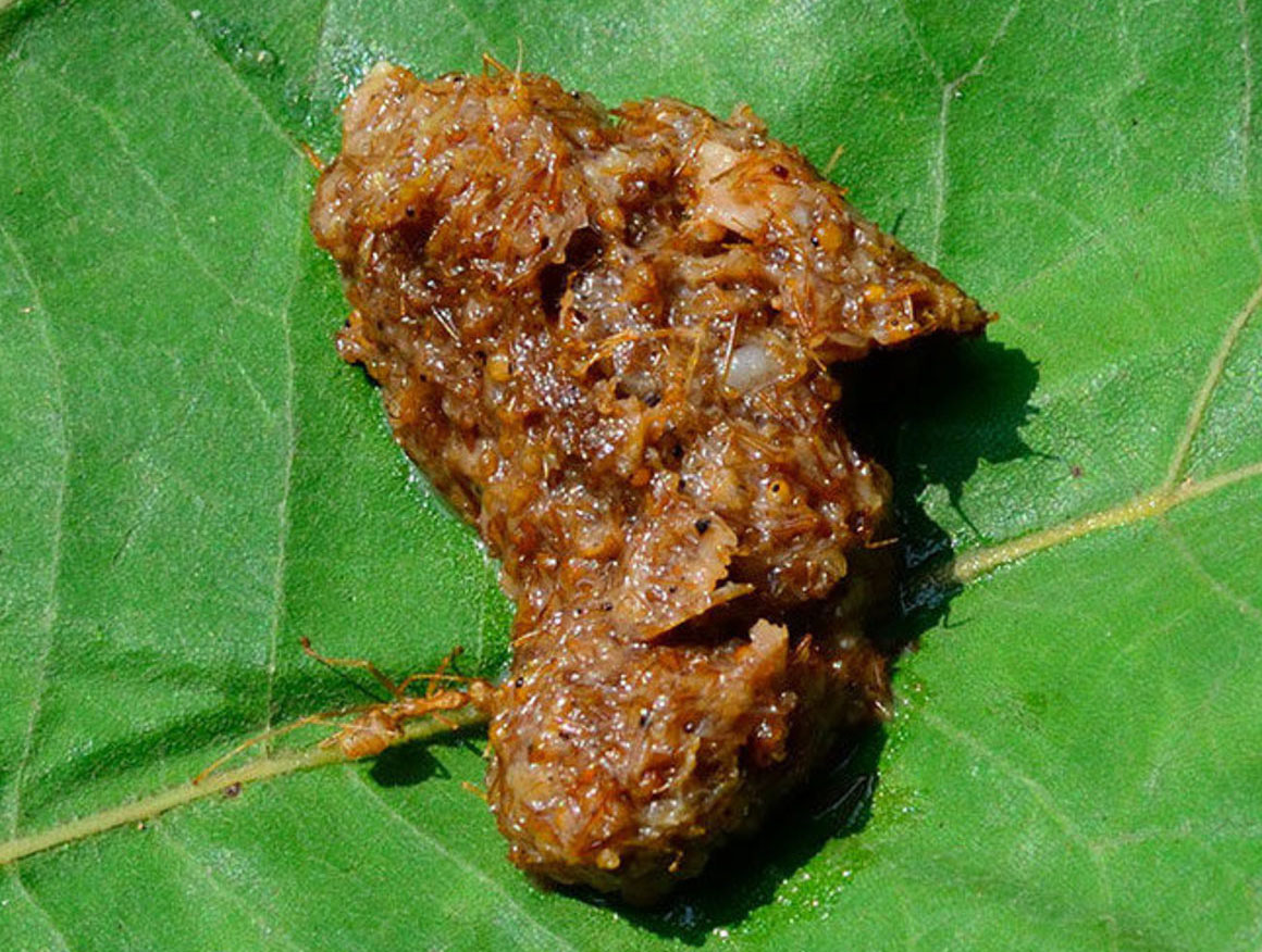 Red Ant Chutney