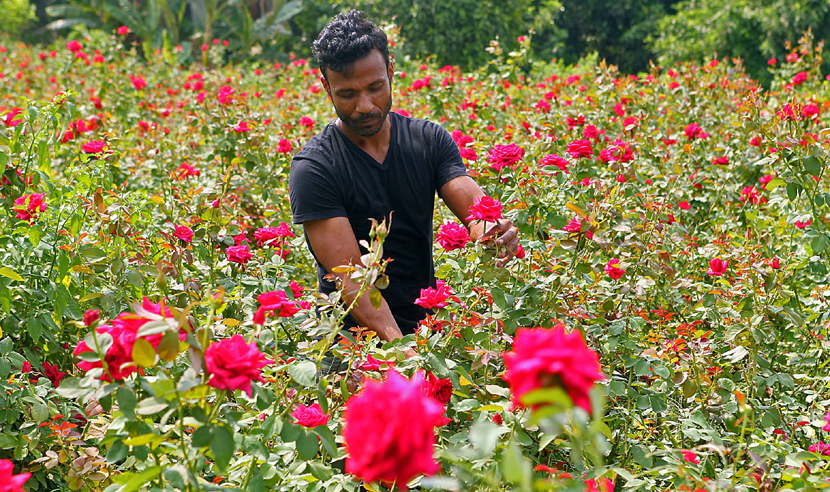 rose-village-Bangla dorpon