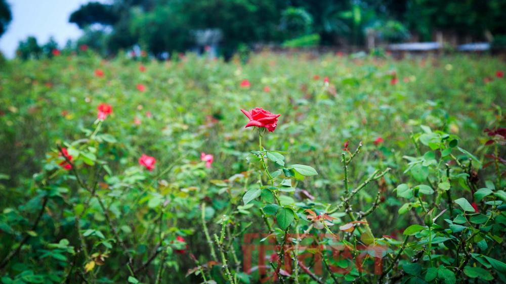 rose-village-bangla tribune
